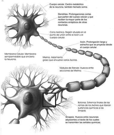 Diagrama de una Neurona