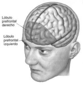 Lobulos prefrontales